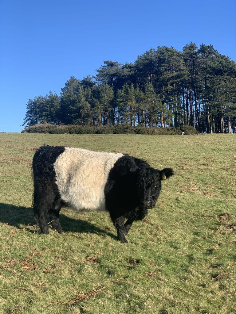 Belted Galloway cow, aka Oreo cow