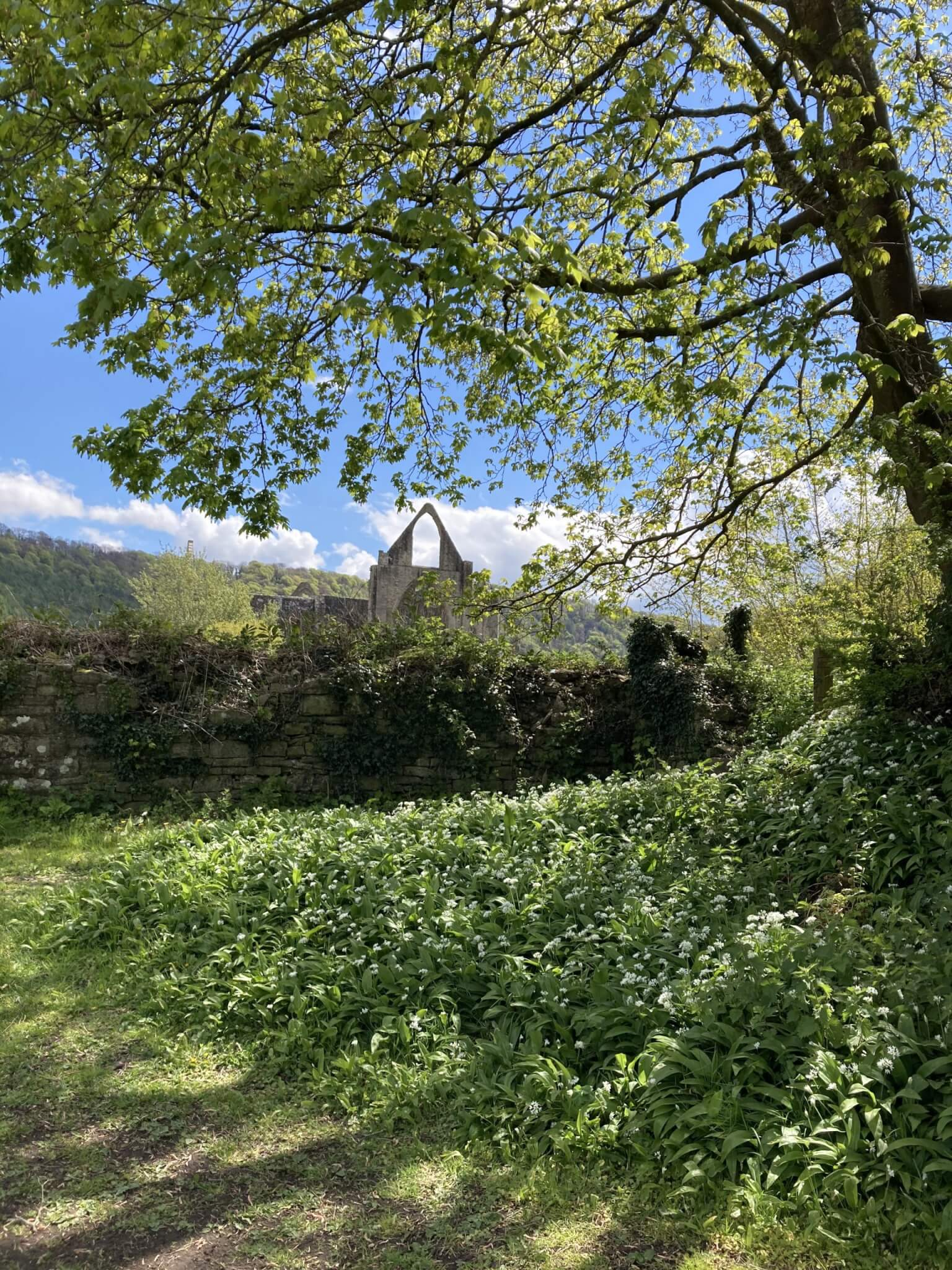 Wild garlic and Tintern Abbey